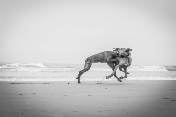 Rhodesian Ridgeback, puppy, beach, marking our territory, adventure