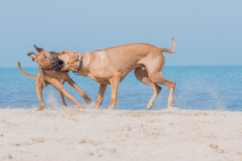Rhodesian Ridgeback, puppy, beach, marking our territory, adventure