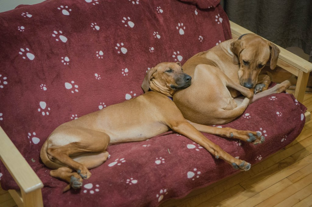 Rhodesian Ridgeback, puppy, blanket, cute, sleep, chicago