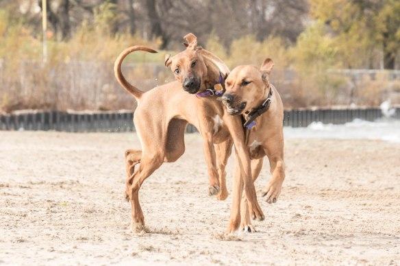 rhodesian ridgeback, puppy,  beach, chicago