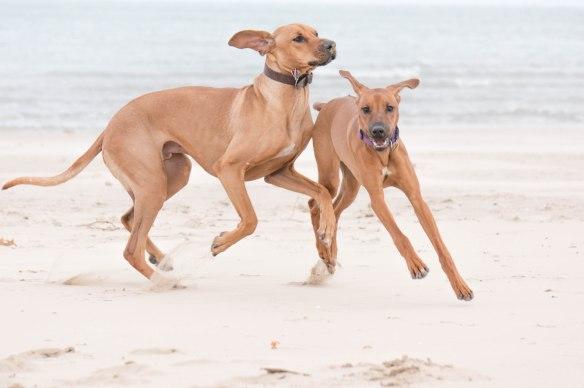 Rhodesian Ridgeback, puppy, chicago, dog beach