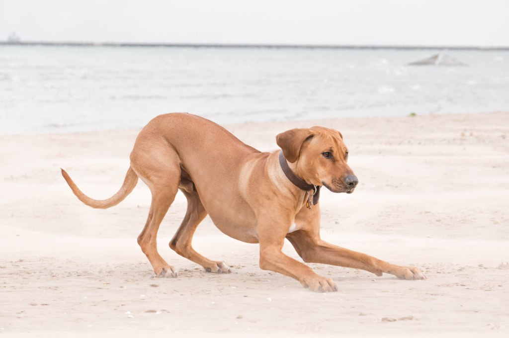 Rhodesian Ridgeback, puppy, chicago, dog beach
