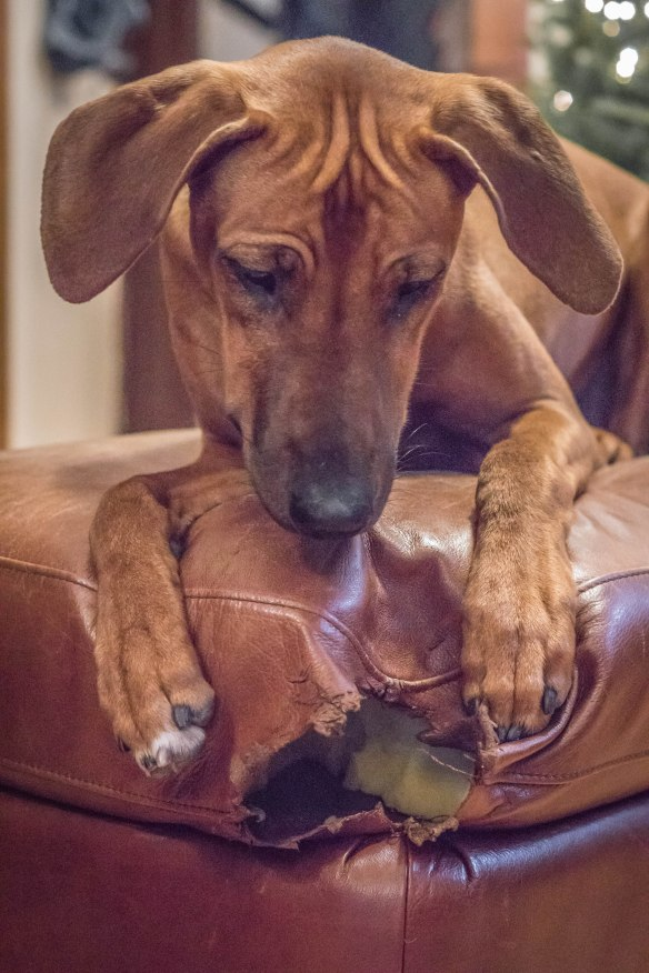 Rhodesian Ridgeback, puppy, chicago, marking our territory, dog, photos
