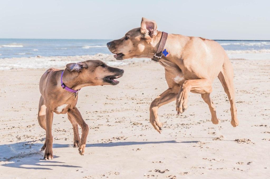 rhodesian ridgeback, beach, chicago, puppy
