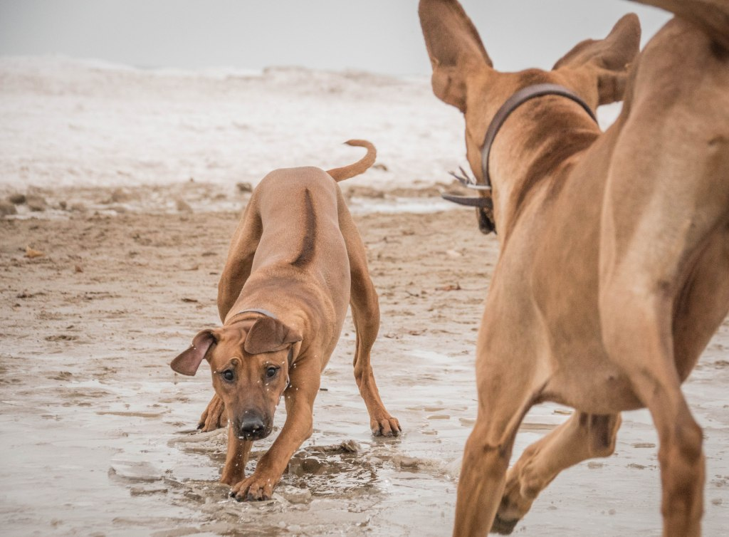 Montrose Dog Beach, Chicago, Rhodesian Ridgeback, puppy, marking our territory, dogs, pet-friendly