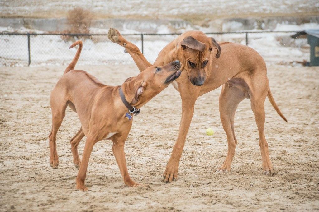 Rhodesian Ridgeback, puppy, chicago, montrose dog beach, marking our territory