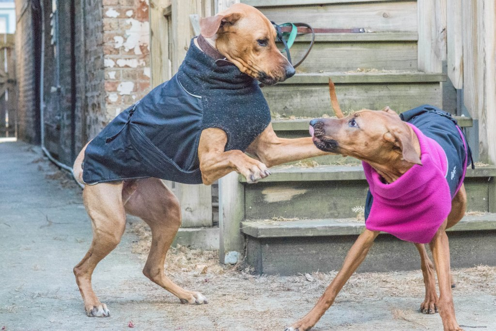 Rhodesian Ridgeback, chicago, puppy, adventure, dogs, marking our territory,