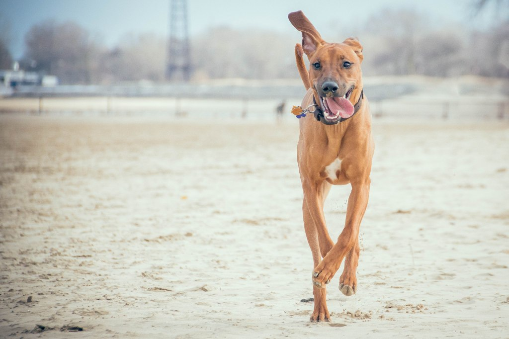 Rhodesian Ridgeback, puppy, chicago, montrose dog beach