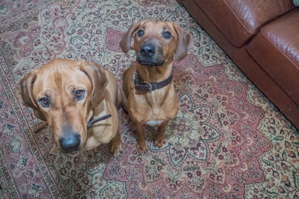 Rhodesian Ridgeback, puppy, chicago, dogs, marking our territory