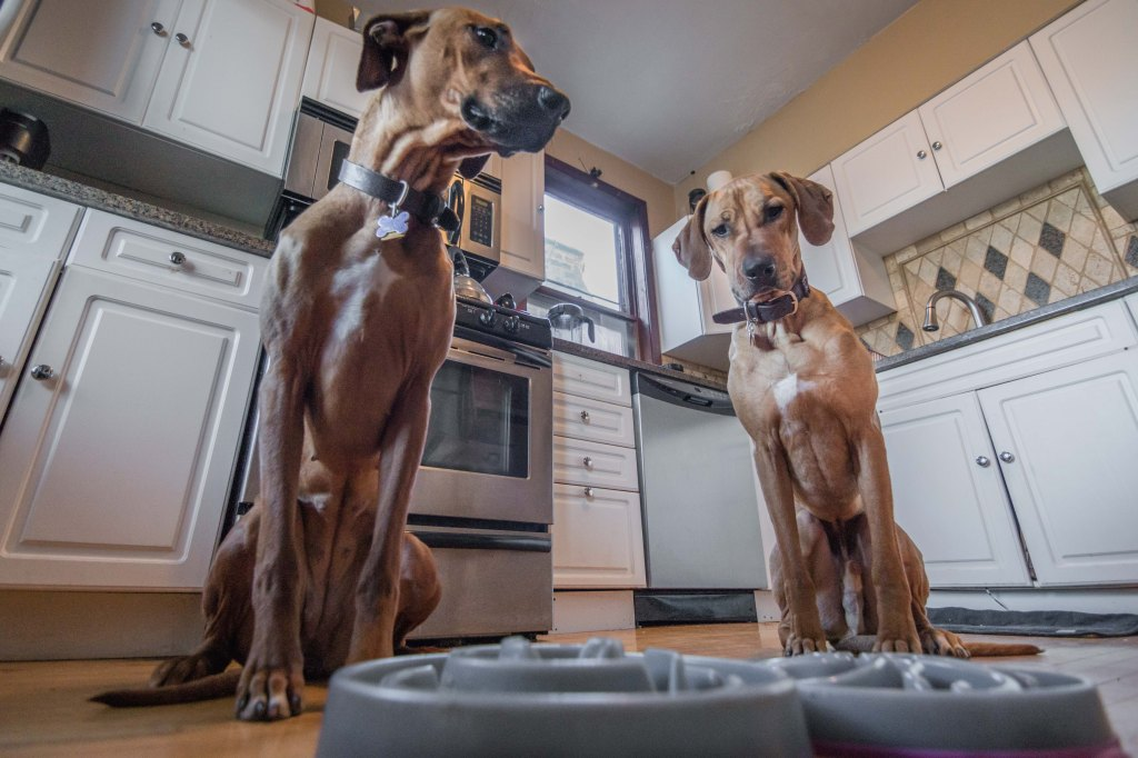 Rhodesian Ridgeback, puppy, photos, marking our territory, chicago