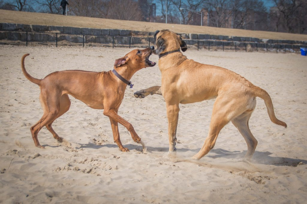Rhodesian Ridgeback, puppy, montrose dog beach, chicago, adventure