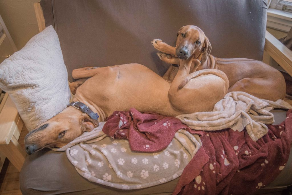 Rhodesian Ridgeback, puppy, chicago, adventure, dogs