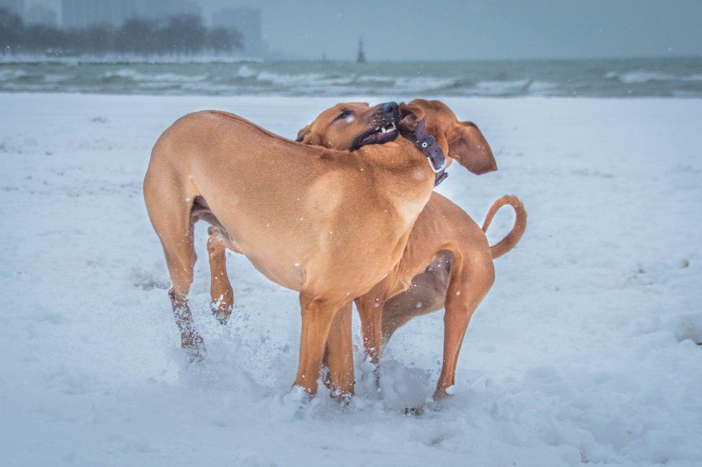 Rhodesian Ridgeback, puppy, chicago, dogs, adventure, photos