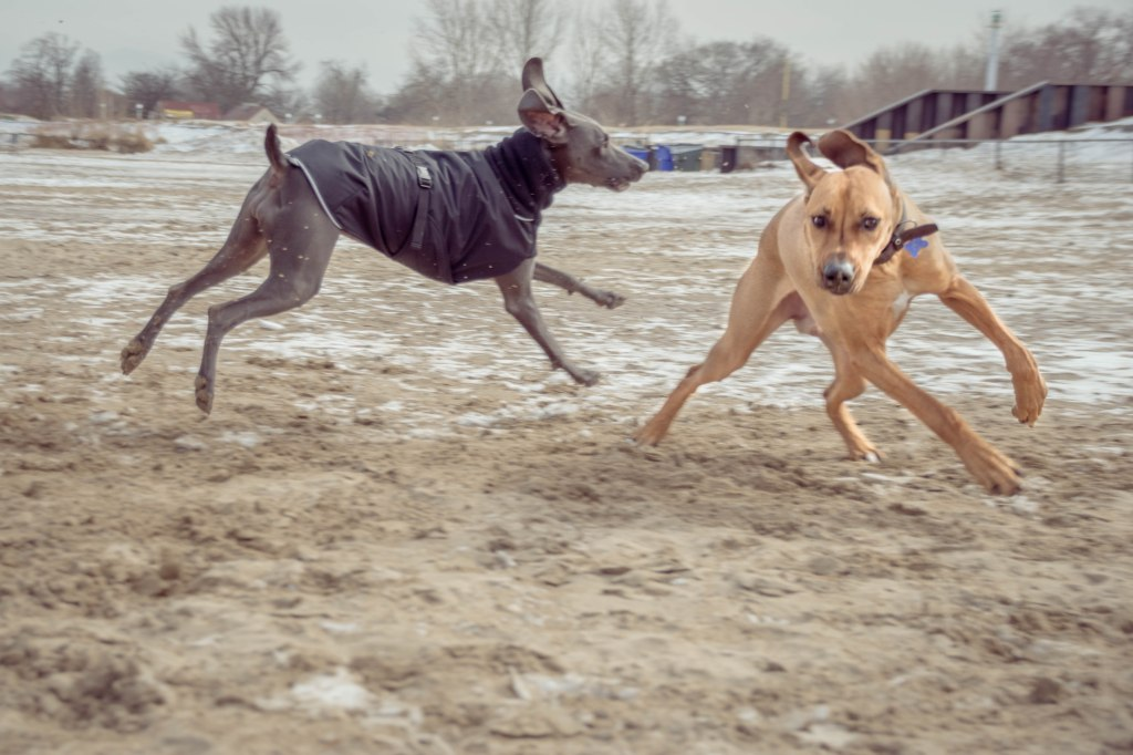 Rhodesian Ridgeback, puppy, dog beach, montrose dog beach, chicago,
