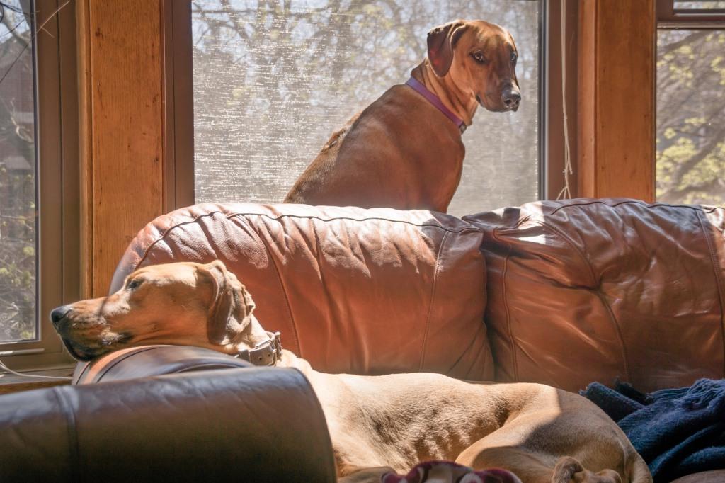 Rhodesian Ridgeback, chicago, puppy, photo, marking our territory, dogs, adventure, sun