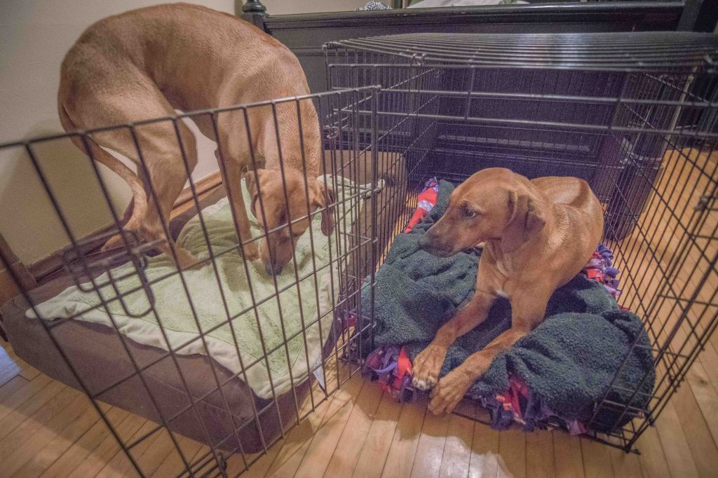 Rhodesian Ridgeback, puppy, chicago, adventure, bed, dogs, ,marking our territory