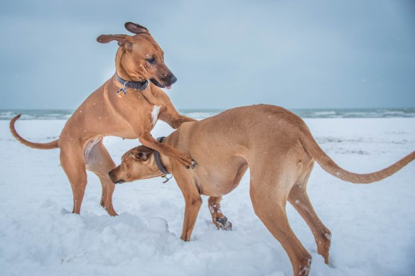 Rhodesian Ridgeback, puppy, chicago, adventure, beach