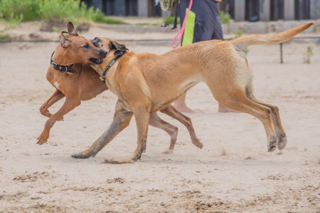 Rhodesian Ridgeback, puppy, chicago, montrose dog beach, adventure