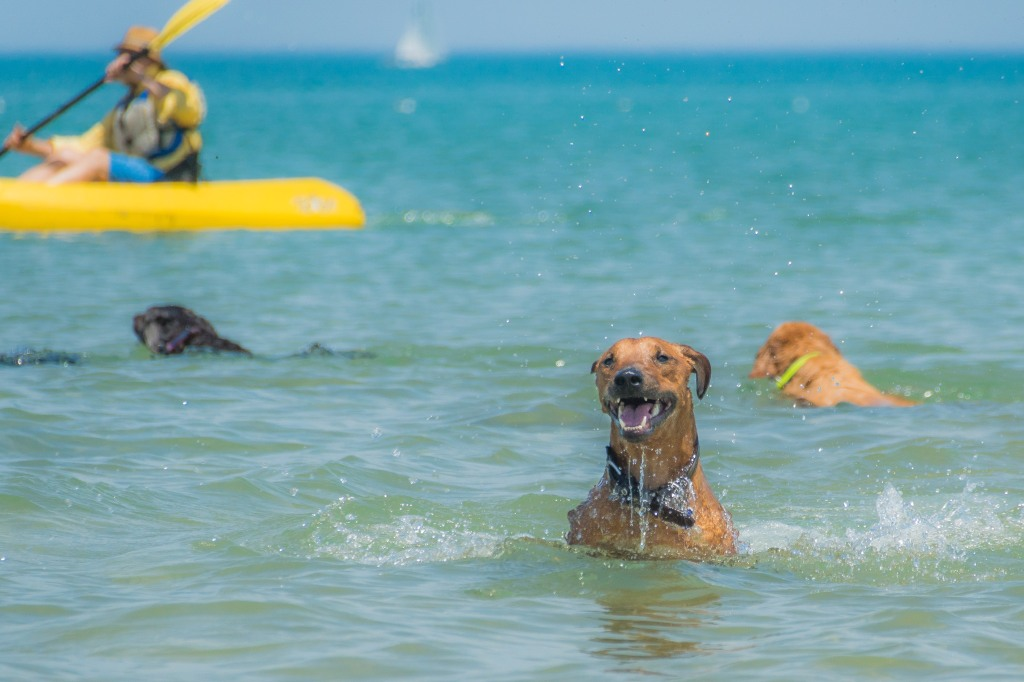 Rhodesian Ridgeback, puppy, chicago, montrose dog beach, chicago, adventure