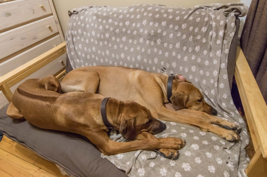 Rhodesian Ridgeback, puppy, chicago, dogs, cute
