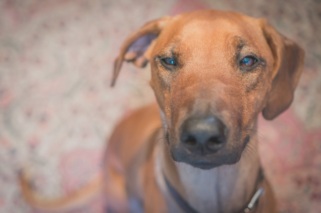 Rhodesian Ridgeback, cute, puppy, chicago, adventure, marking our territory