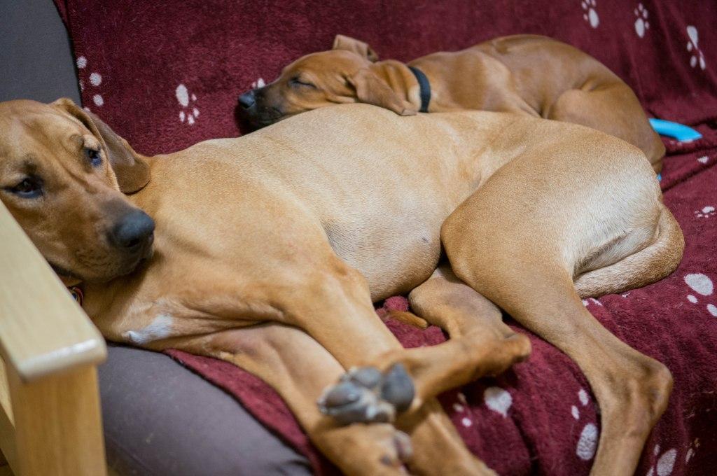 Rhodesian Ridgeback, cute, puppy, chicago, blog, adventure