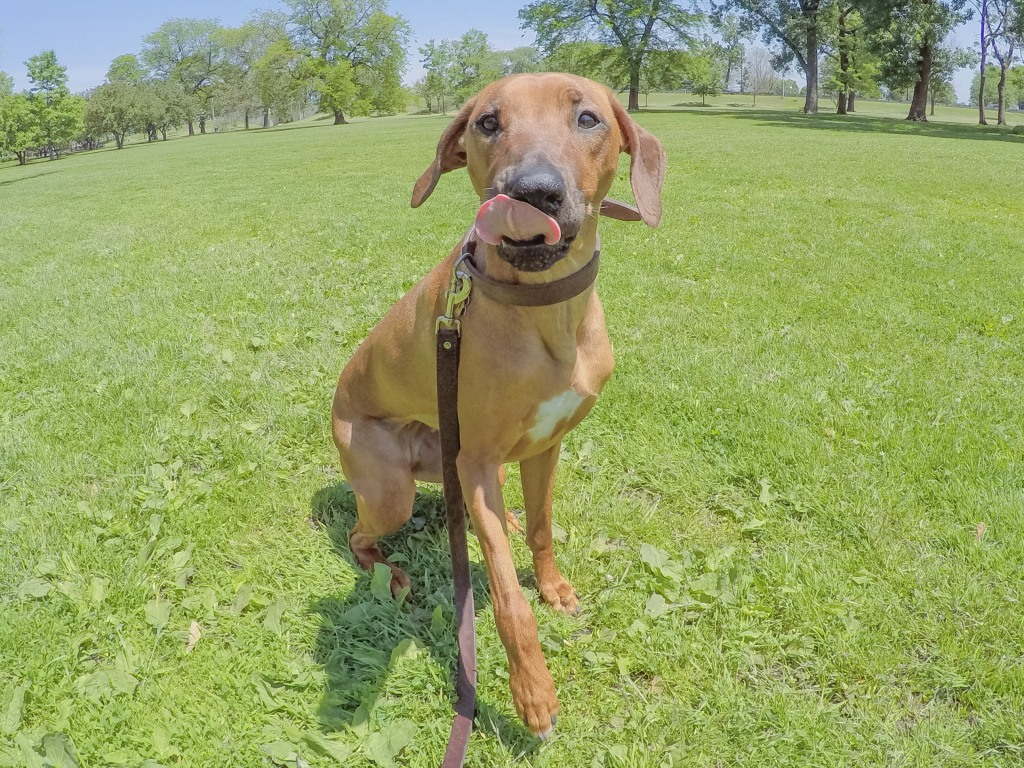 Rhodesian Ridgeback, puppy, chicago, dogs, cute, marking our territory.