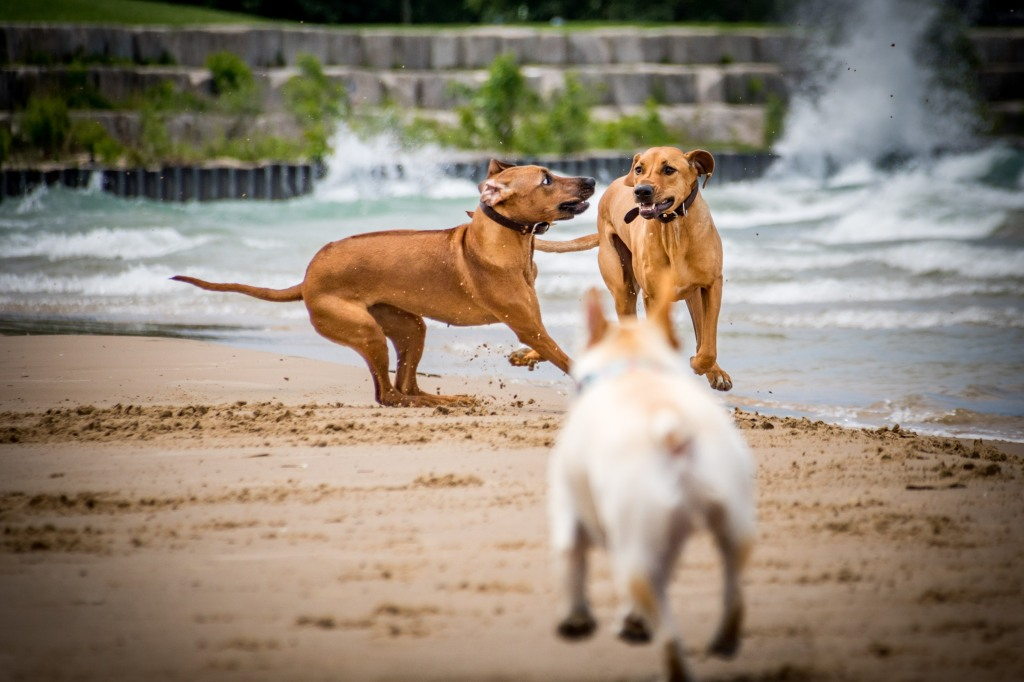 Rhodesian Ridgeback, puppy, chicago, dogs, cute, marking our territory