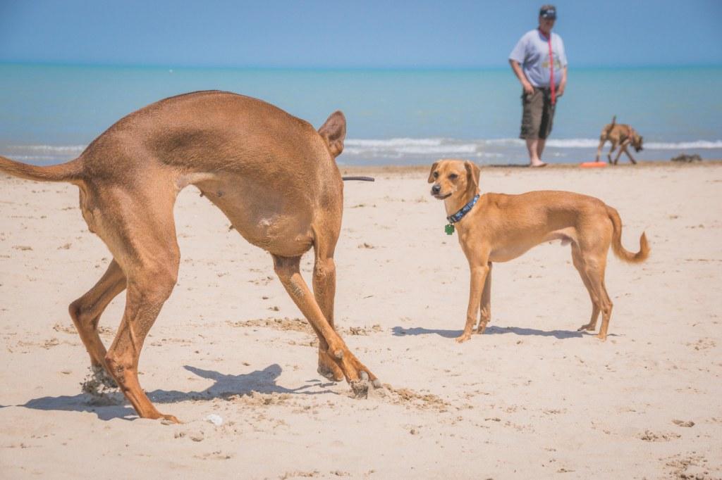 Rhodesian Ridgeback, Chicago, puppy, Montrose Dog Beach, Marking Our Territory, adventure