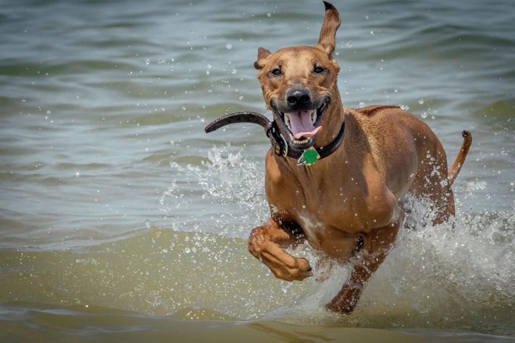 Rhodesian Ridgeback, puppy, chicago, Montrose Dog Beach, cute, adventure