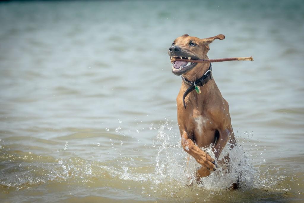 Rhodesian Ridgeback, puppy, chicago