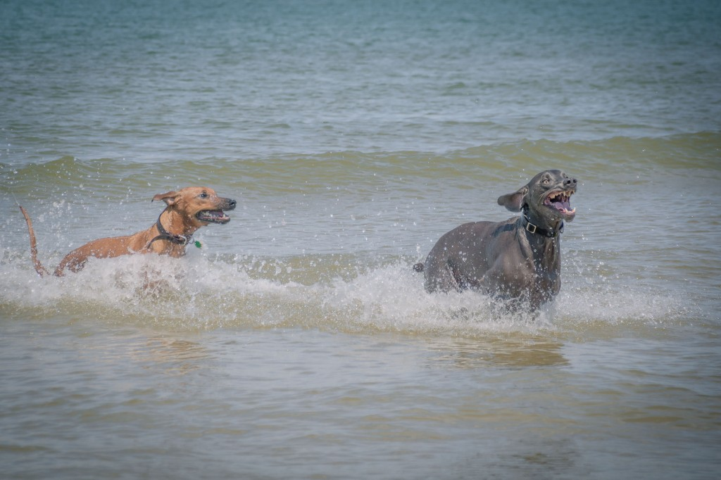 Rhodesian Ridgeback, puppy, chicago, dogs, montrose dog beach, adventure