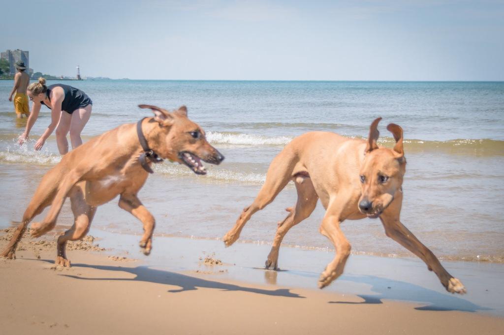 Rhodesian Ridgeback, chicago, montrose dog beach, adventure, cute