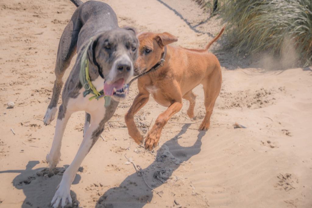 Rhodesian Ridgeback, Great Dane, puppy, montrose dog beach, adventure, chicago