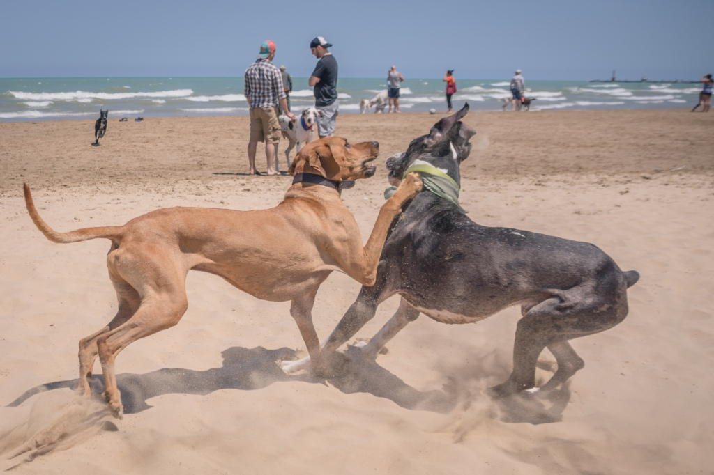 27.8Rhodesian Ridgeback, Great Dane, puppy, montrose dog beach, adventure, chicago