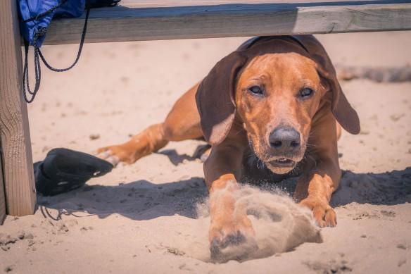 Rhodesian Ridgeback, puppy, chicago, montrose dog beach