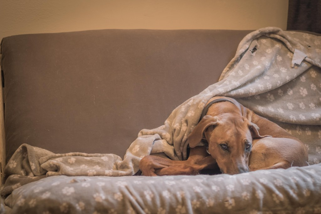 Rhodesian Ridgeback, puppy, cute, blanket, chicago