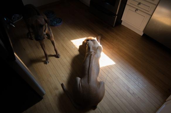 Rhodesian Ridgeback, puppy, sun, cute, chicago