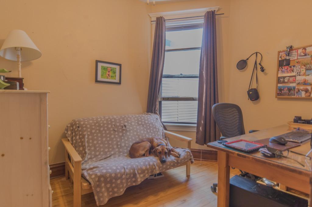 Rhodesian Ridgeback, Chicago, apartment