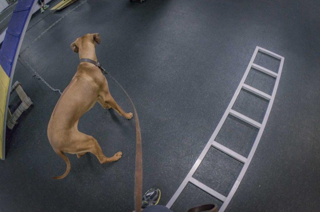 Rhodesian Ridgeback, chicago, agility, puppy