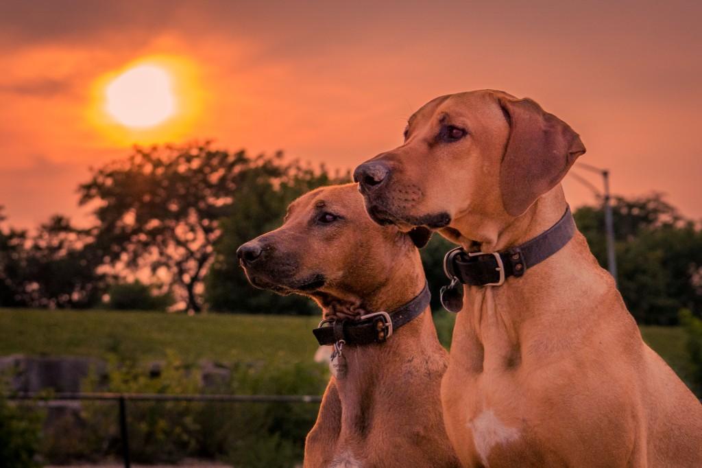 Rhodesian Ridgeback, chicago, puppy, montrose dog beach