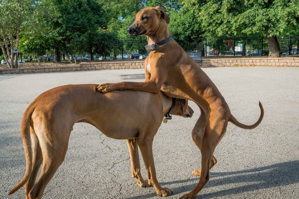 Rhodesian Ridgeback, Chicago, puppy, adventure, uptown