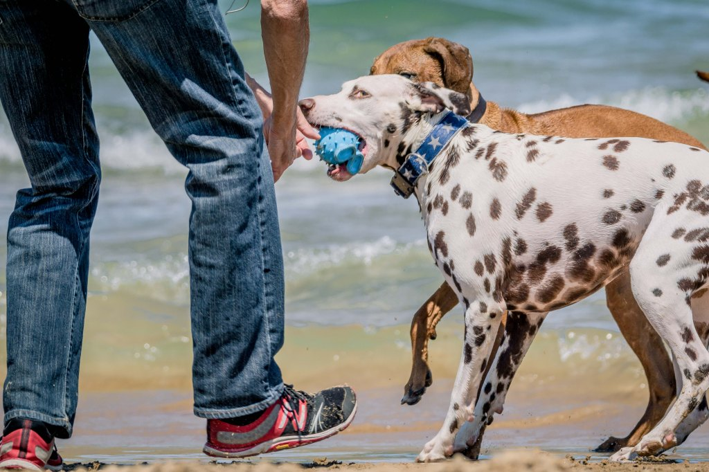 Rhodesian Ridgeback, Montrose Dog Beach, puppy, chicago, adventure, dogs