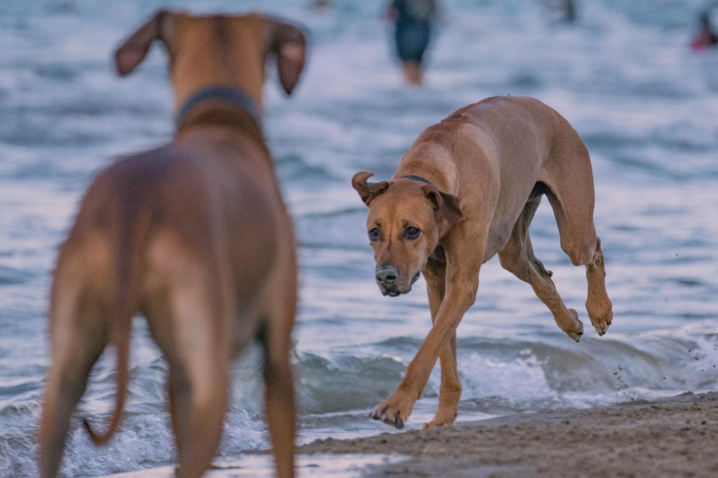 Montrose dog beach, chicago, rhodesian ridgeback, marking our territory, puppy