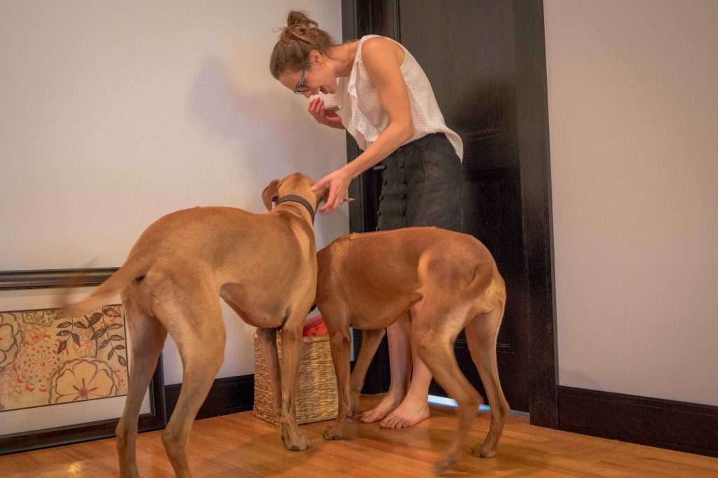 Rhodesian Ridgeback, chicago, puppy, adventure,. cute