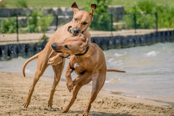 Rhodesian Ridgeback, chicago, puppy, montrose dog beach
