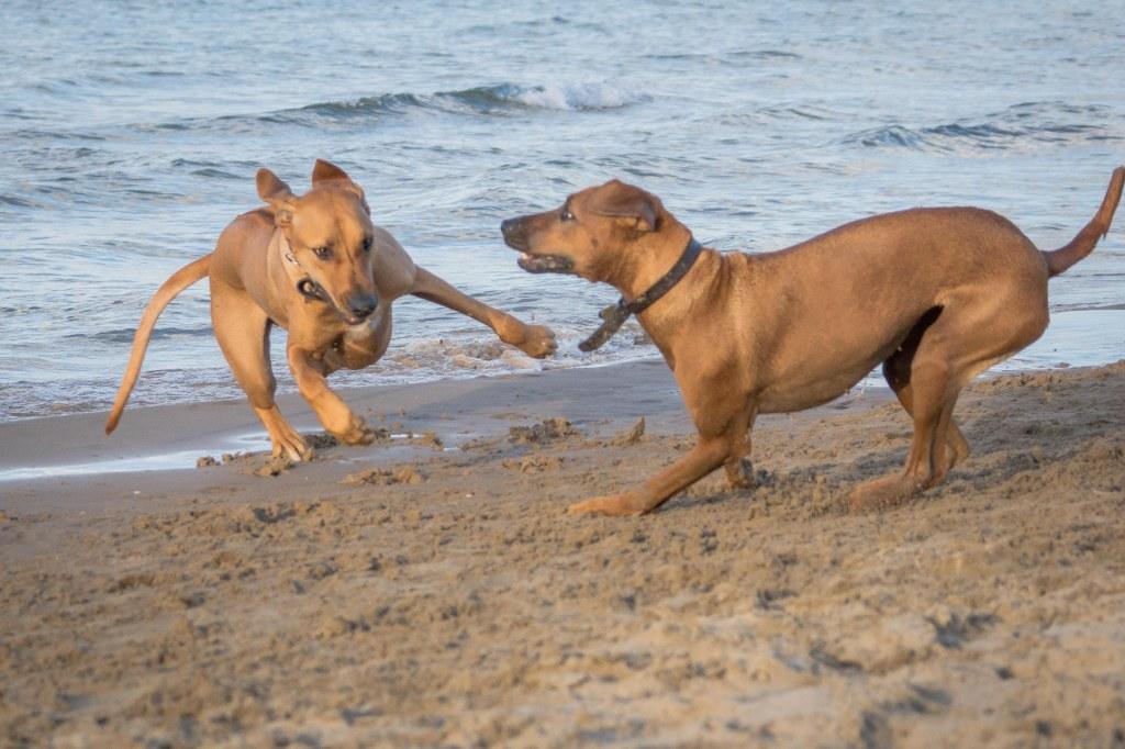 Rhodesian Ridgeback, chicago, puppy, cute, adventure