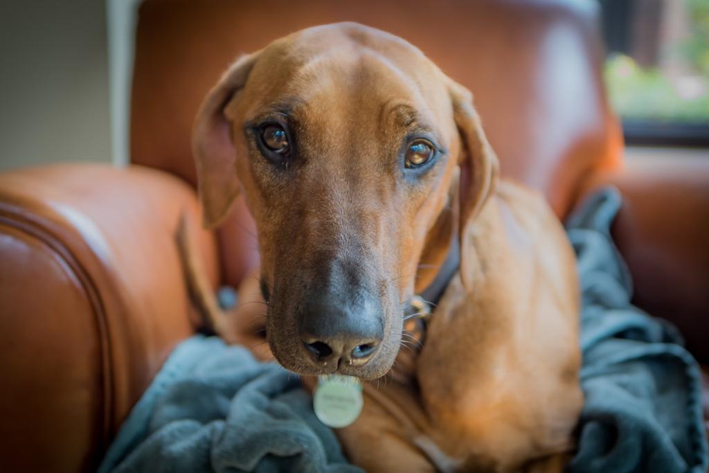 30.5Rhodesian Ridgeback, puppy, cute, chicago, blog