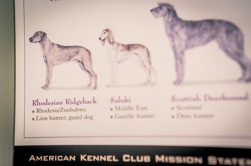 Rhodesian Ridgeback, blog, chicago, cute, adventure
