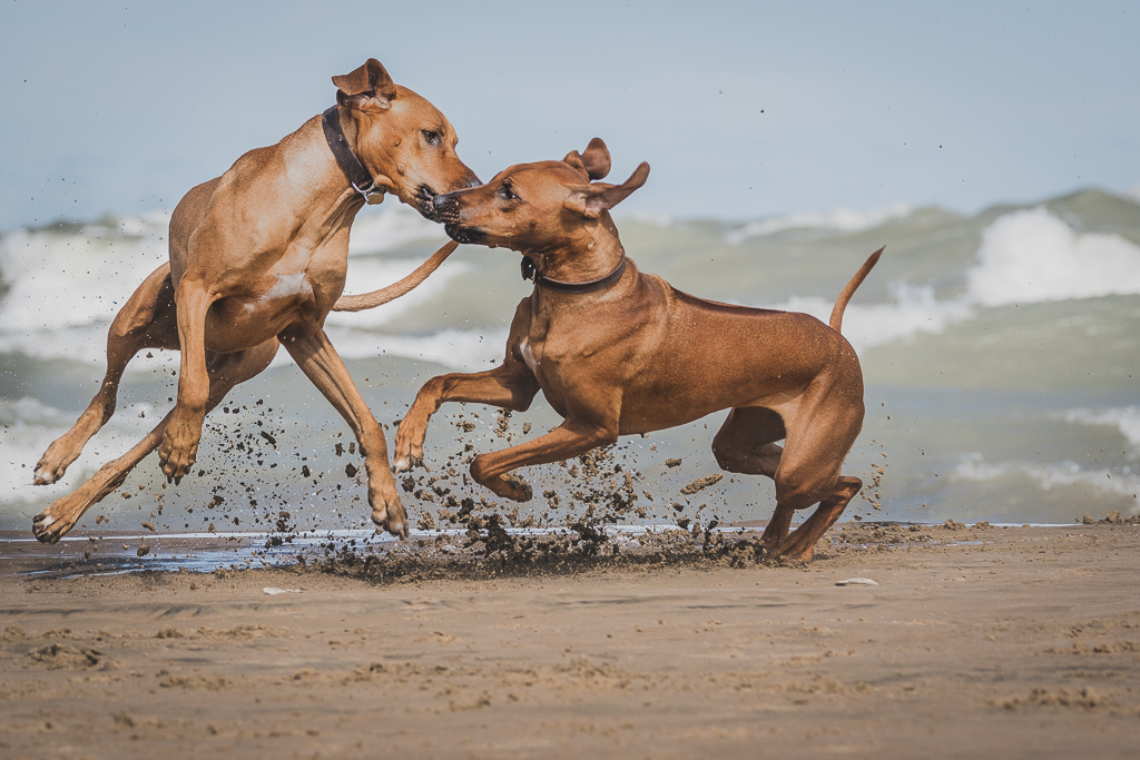Rhodesian Ridgeback, blog, chicago, puppy, montrose dog beach